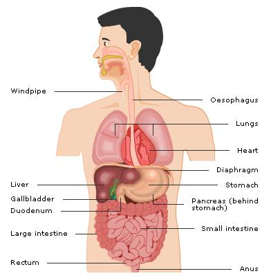 Abdominal Trauma on pancreas location human body diagram